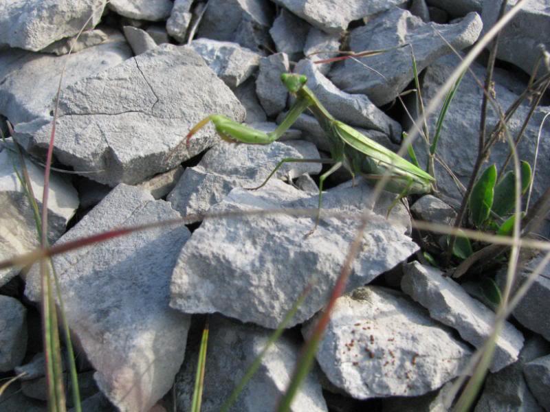 Slike insekata- buba IMG_4199