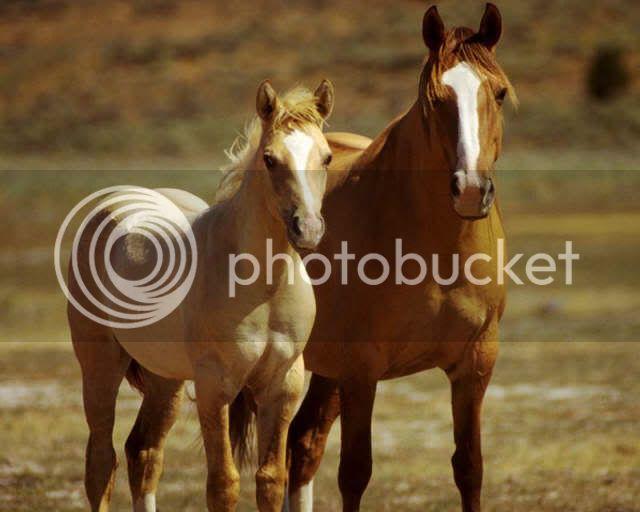 ALL MEMBERS: HorsePalominoWildHorses_3