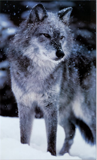 ~~~~~~~~THE PACK~~~~~~~~~~~ Wofl