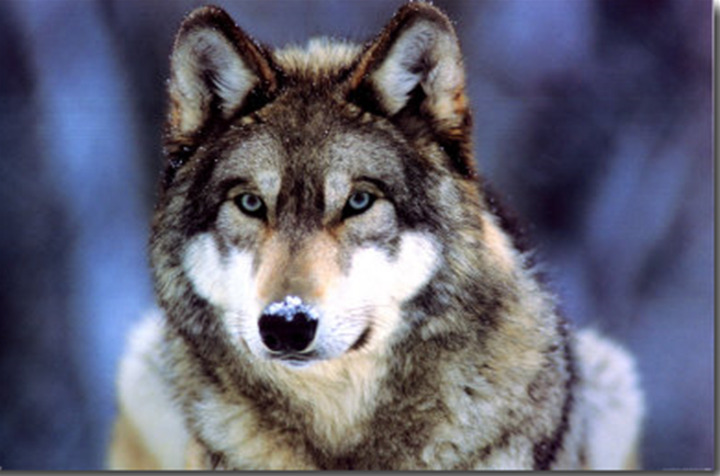 ~~~~~~~~THE PACK~~~~~~~~~~~ Wolf