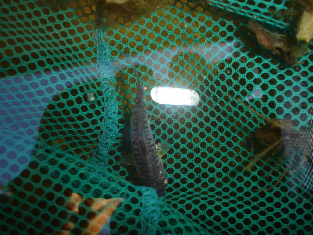 another unknown type of koi i needhelp with DSC00122