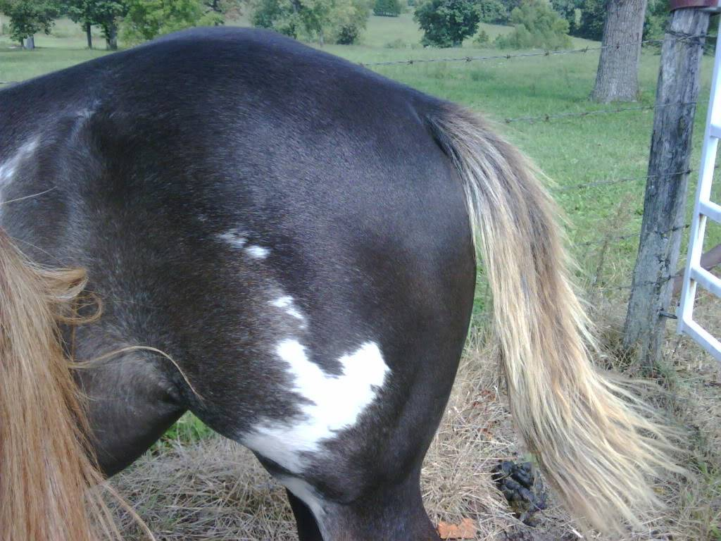 APHA filly Bellaybutt