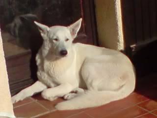 A placer Femelle Lof, 24 mois, poil court, 83 [Adoptée] Capri1