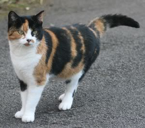 Greeneyes:Lonely she-cat 1154309_calico_cat