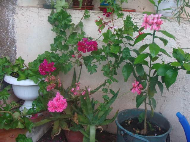 plante de interior ....in gradina ! DSC00880