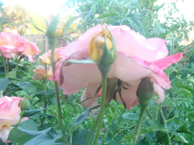 plante de interior ....in gradina ! DSC00885