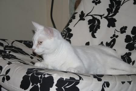 Lily, magnifique chatte blanche de 3 ans Lily60gal003