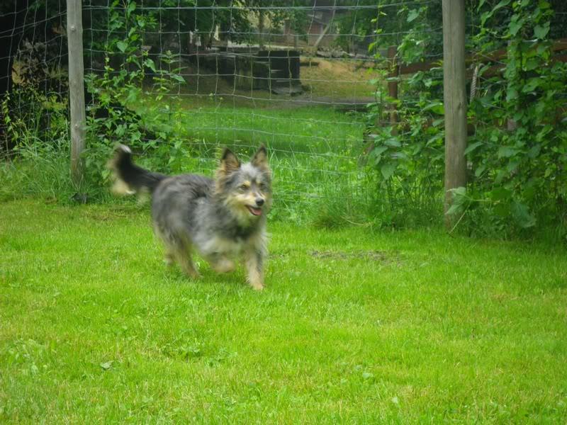 Helisa, x berger des shetland, née 2010 - Tabanac 33 Helisa