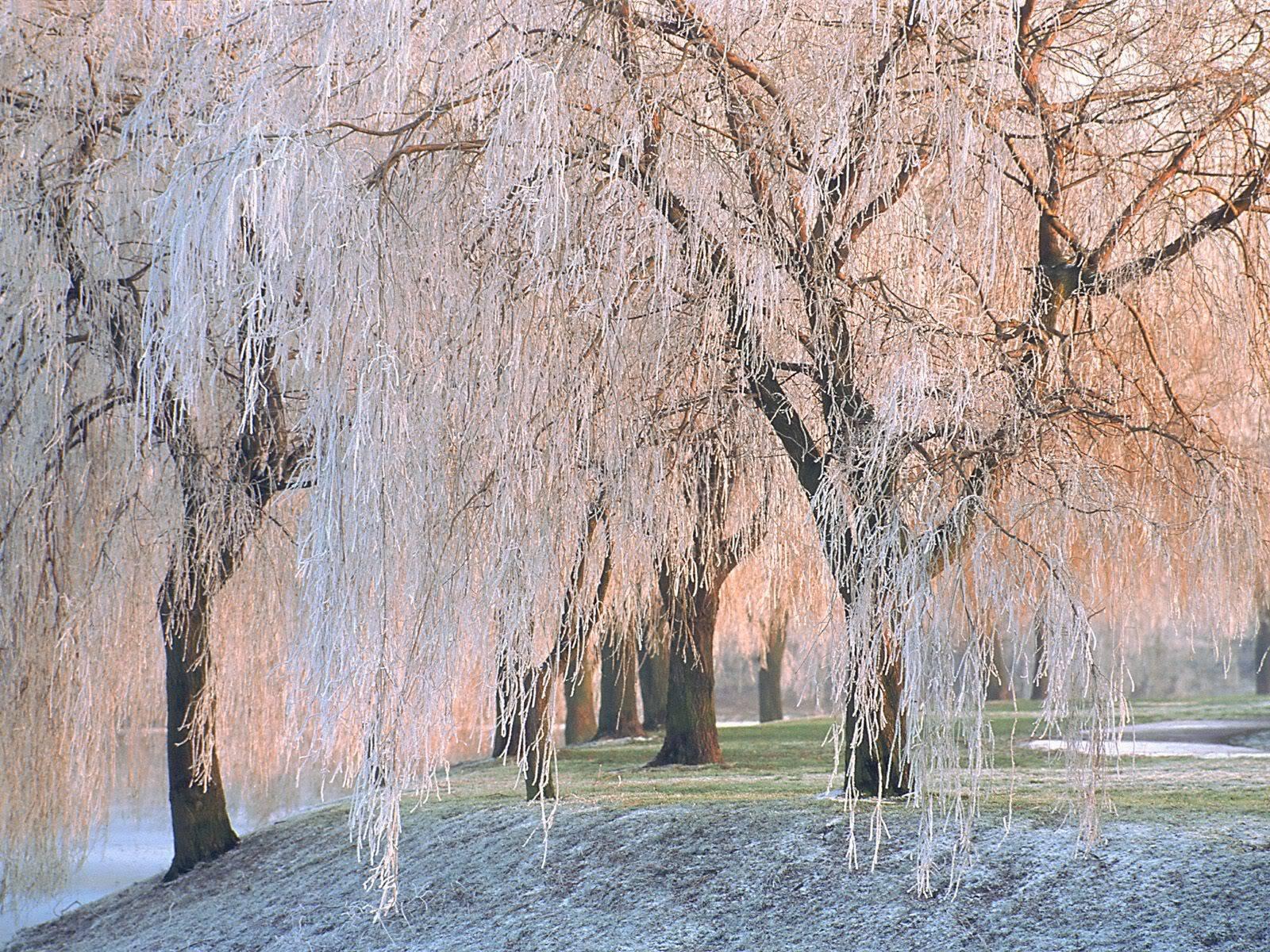 இயற்கை அழகு நிறைந்த காட்சிகள்  Ice-coveredWillowTrees