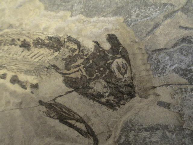 Sclerocephalus Haueseri y Apateon Petrolei DSC00409