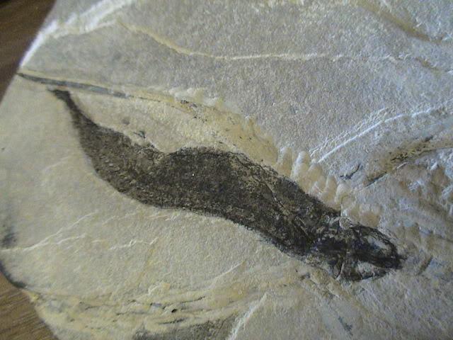 Sclerocephalus Haueseri y Apateon Petrolei DSC00410