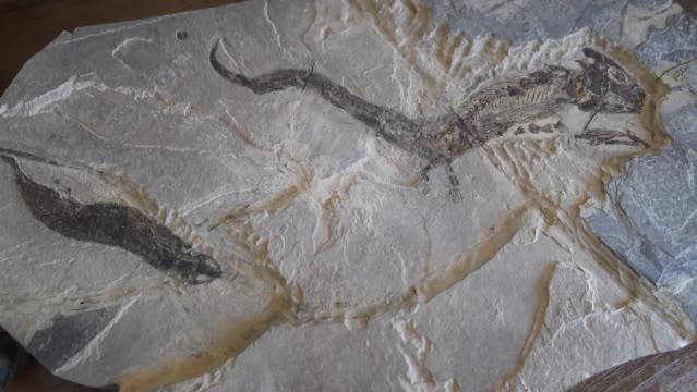 Sclerocephalus Haueseri y Apateon Petrolei DSCF0544
