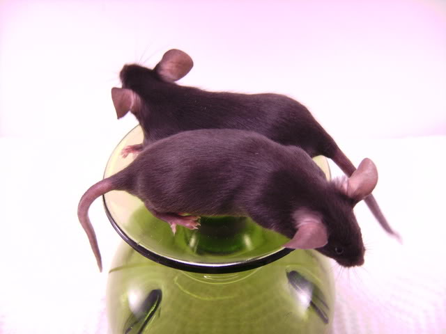Mice Gone Wild! Mardi Gras Edition!  PICT6020