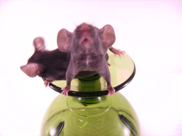 Mice Gone Wild! Mardi Gras Edition!  PICT6023