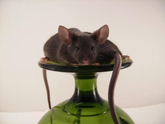 Mice Gone Wild! Mardi Gras Edition!  PICT6029