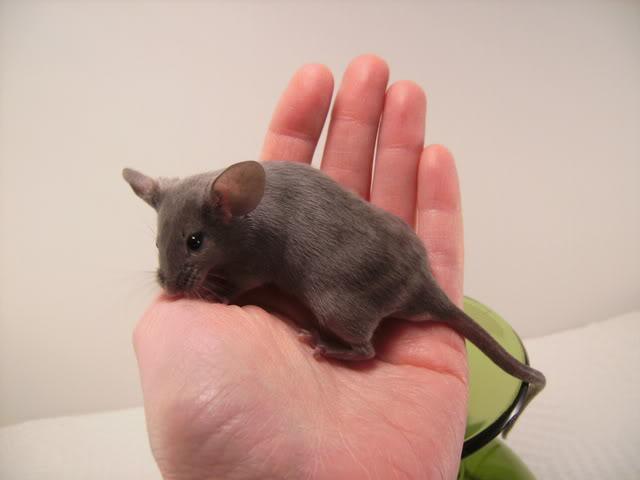 Mice Gone Wild! Mardi Gras Edition!  PICT6034
