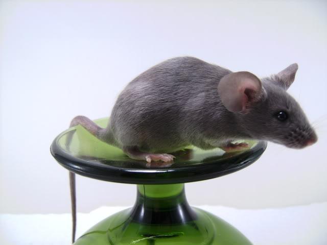 Mice Gone Wild! Mardi Gras Edition!  PICT6036