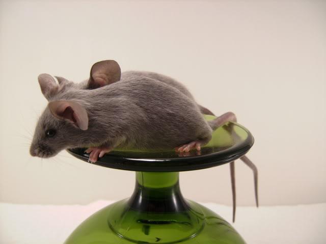 Mice Gone Wild! Mardi Gras Edition!  PICT6040