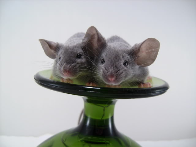 Mice Gone Wild! Mardi Gras Edition!  PICT6044