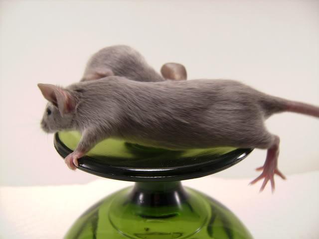 Mice Gone Wild! Mardi Gras Edition!  PICT6045