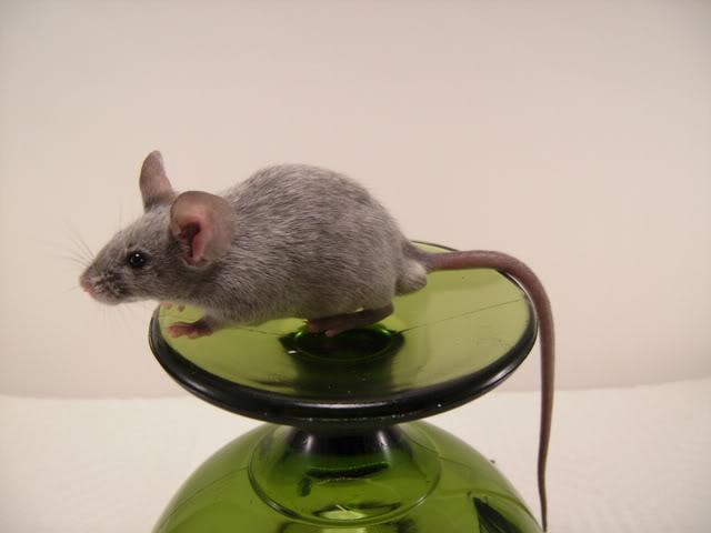 Mice Gone Wild! Mardi Gras Edition!  PICT6061