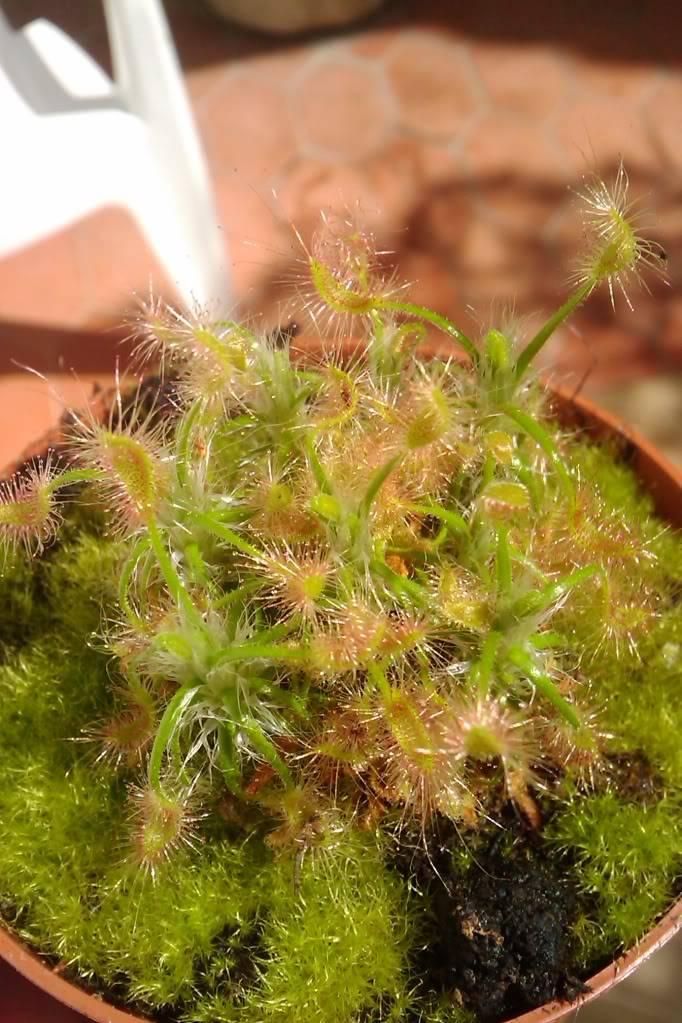 Identificação Drosera e Sarracenia IMAG02181