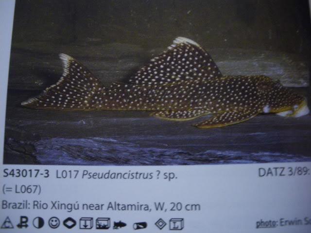 check list loricariidae 1ere partie IMGP0105