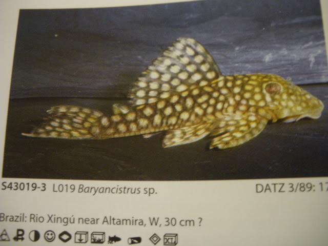 check list loricariidae 1ere partie IMGP0107