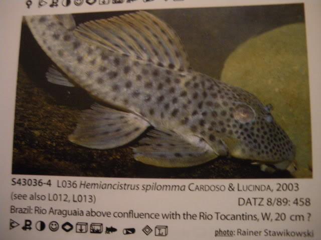 check list loricariidae 1ere partie IMGP0128
