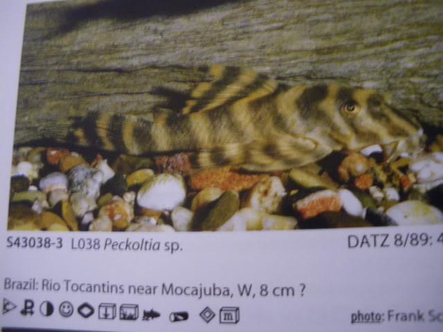 check list loricariidae 1ere partie IMGP0130