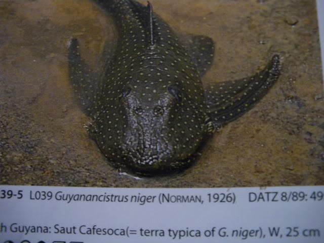 check list loricariidae 1ere partie IMGP0131