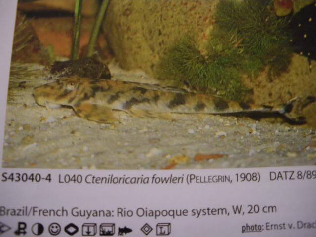 check list loricariidae 1ere partie IMGP0132