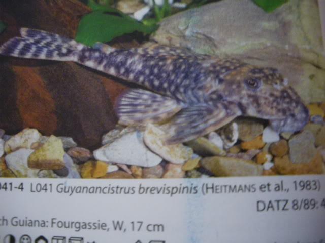 check list loricariidae 1ere partie IMGP0133