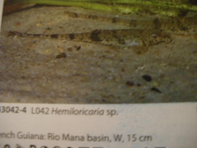 check list loricariidae 1ere partie IMGP0134