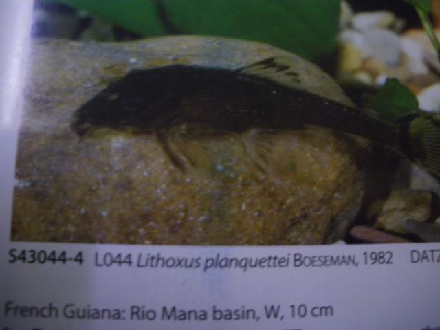check list loricariidae 1ere partie IMGP0136