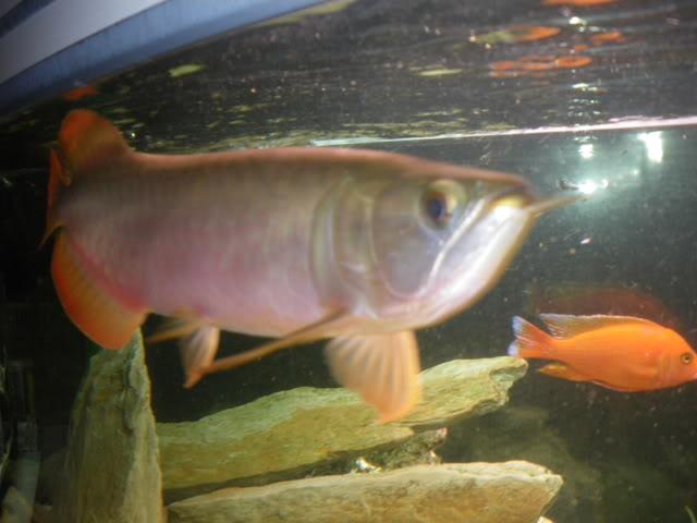 aquarium de 600 litres de aronono IMGP1615