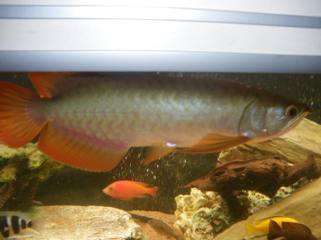 aquarium de 600 litres de aronono IMGP1616