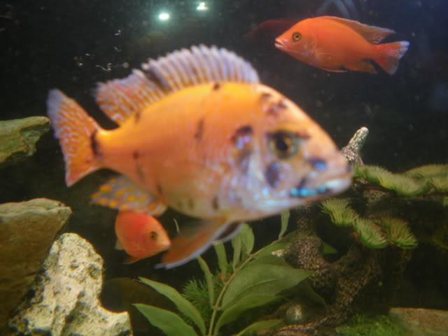aquarium de 600 litres de aronono IMGP1617
