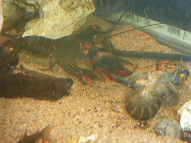 Cherax quadricarinatus IMGP2014