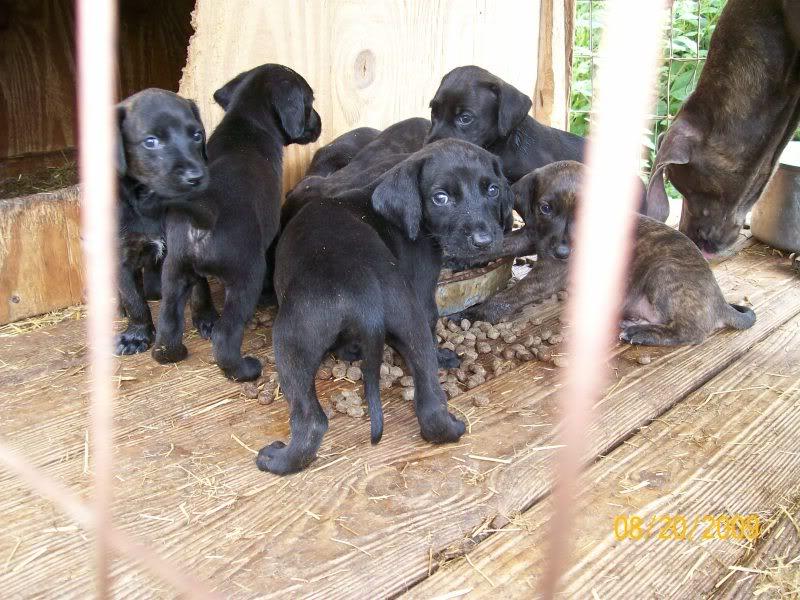 GRCH. GRNTCH. NIMRODS ROCKYTOP ONYX X  HAYZE PUPS due July 20 2009 Pups079