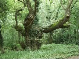Kult drveta i biljaka kod starih Srba Ancient-oak