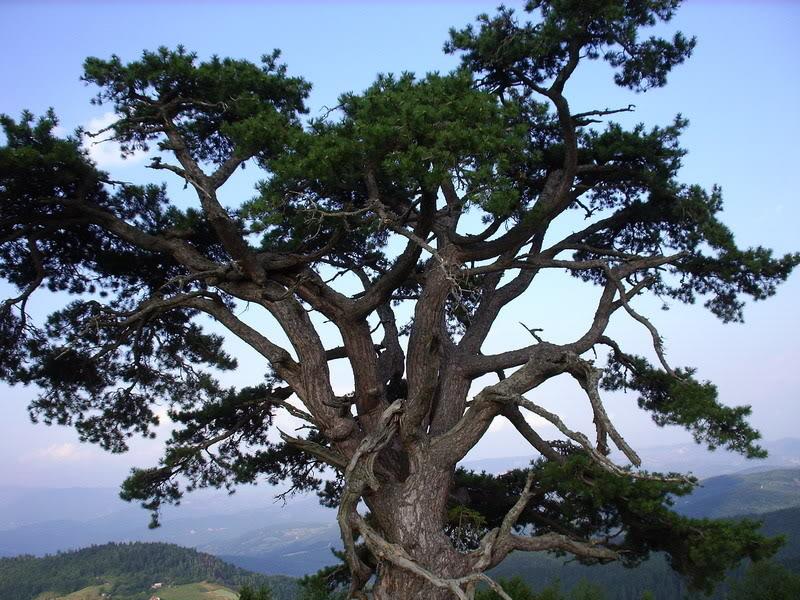 Kult drveta i biljaka kod starih Srba Svetibor3