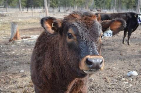 Jersey cow AI'ed with Sex Semen for sale SOLD Hugh