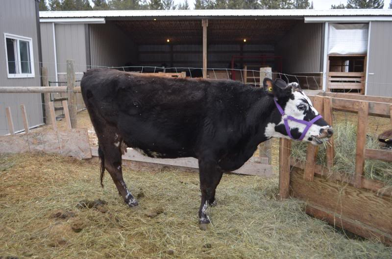 Jersey cow AI'ed with Sex Semen for sale SOLD Naeveemptyudder2