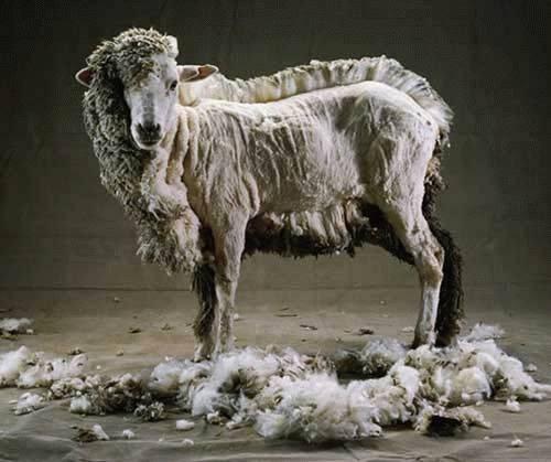 things that make you say !@#$%^&*( Sheep