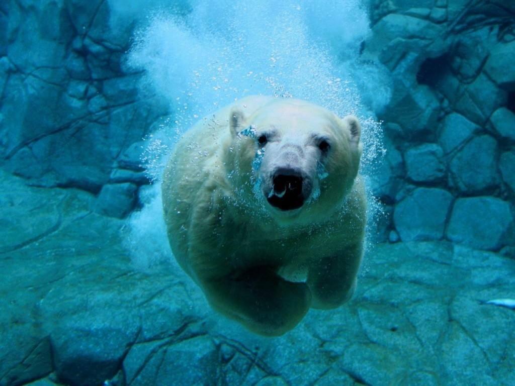 FOTOS GRACIOSAS ..... - Página 2 Oso-polar-nadando