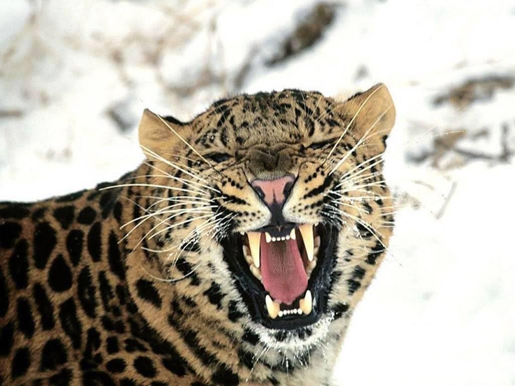 GESTOS DE ROGER FEDERER - Página 10 1024x768_leopardo_de_las_nieves