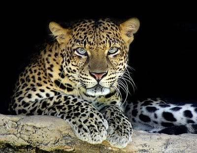 GESTOS DE ROGER FEDERER - Página 10 Leopardo