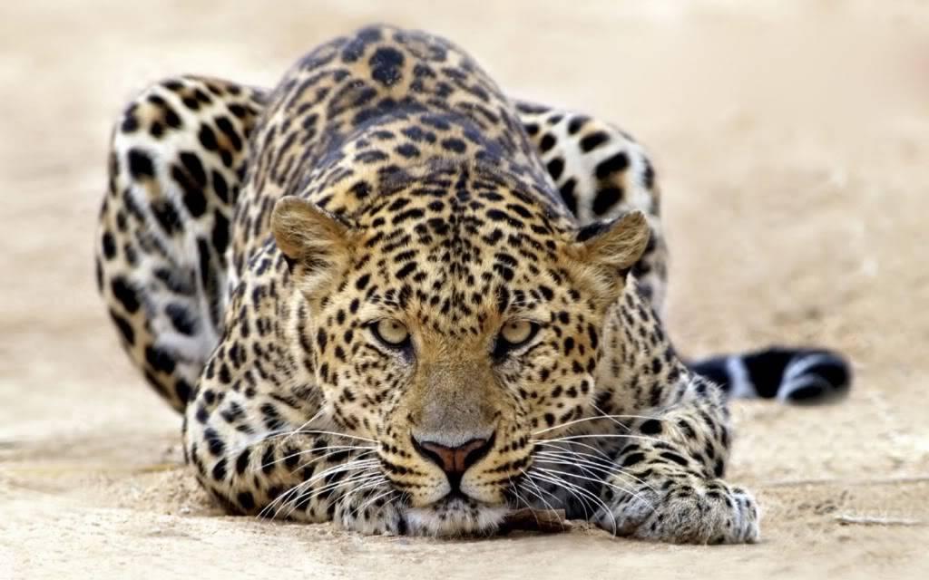 GESTOS DE ROGER FEDERER - Página 10 Leopardo-al-acecho