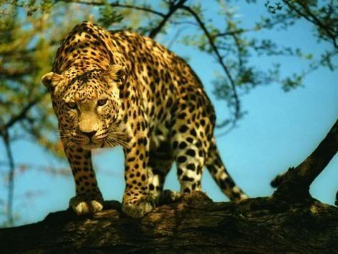 GESTOS DE ROGER FEDERER - Página 10 Leopardos4